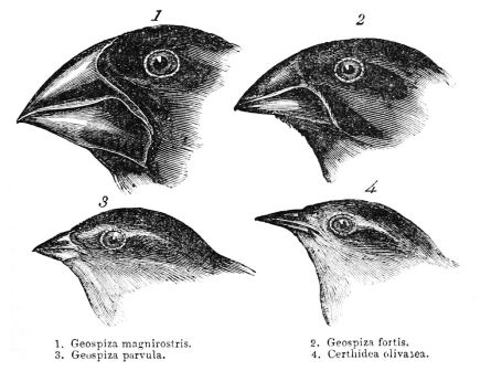 1018px-Darwin's_finches_by_Gould