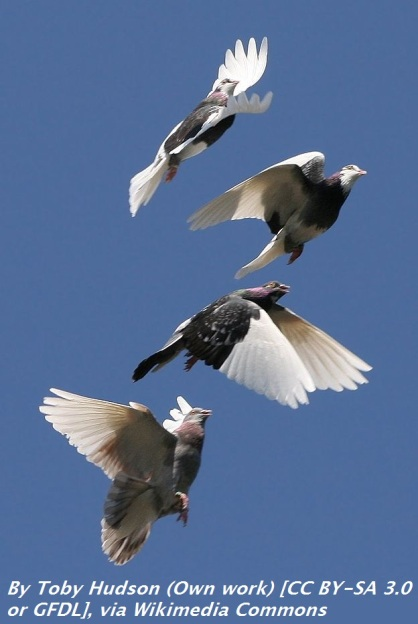 Domestic_Pigeon_Flock