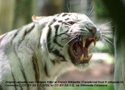 Tigre_d'Asie_à_robe_blanche